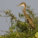 purperreiger-purple-heron-23