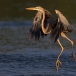 purperreiger-purple-heron-28
