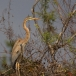 purperreiger-purple-heron-31