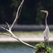purperreiger-purple-heron-32