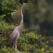 purperreiger-purple-heron-33