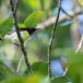 Purperstuithoningzuiger-Purple-rumped-sunbird-01