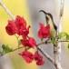 Purperstuithoningzuiger-Purple-rumped-sunbird-03