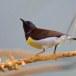 Purperstuithoningzuiger-Purple-rumped-sunbird-04