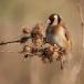 putter-goldfinch-04