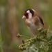 putter-goldfinch-11