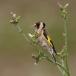 putter-goldfinch-13