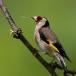 putter-goldfinch-14