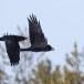 Raaf-Raven-36