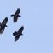 Raaf-Raven-39