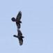Raaf-Raven-40