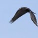 Raaf-Raven-41