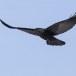 Raaf-Raven-42