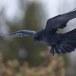 Raaf-Raven-44