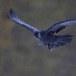 Raaf-Raven-45