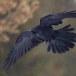 Raaf-Raven-46