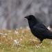 raaf-common-raven-04