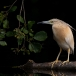 ralreiger-squacco-heron-09
