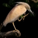 ralreiger-squacco-heron-10
