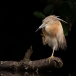 ralreiger-squacco-heron-12