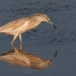 ralreiger-squacco-heron-13