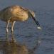 ralreiger-squacco-heron-14