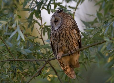 ransuil-long-eared-owl-08