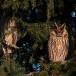 ransuil-long-eared-owl-01