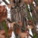 ransuil-long-eared-owl-03
