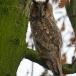 ransuil-long-eared-owl-04