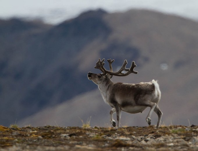 rendier-reindeer-13