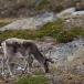 rendier-reindeer-05