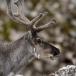 rendier-reindeer-16