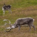 rendier-reindeer-21