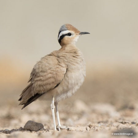 Renvogel - Cream-colored Courser 16