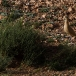 renvogel-cream-colored-courser-07