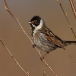rietgors-reed-bunting-01