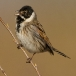 rietgors-reed-bunting-02