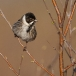 rietgors-reed-bunting-03