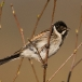 rietgors-reed-bunting-04