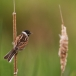 rietgors-reed-bunting-05