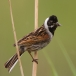 rietgors-reed-bunting-06