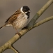 rietgors-reed-bunting-07