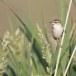 Rietzanger-Sedge-Warbler-11