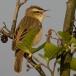 rietzanger-sedge-warbler-03
