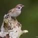Ringmus - Eurasian Tree Sparrow 13