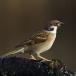 ringmus-eurasian-tree-sparrow-03