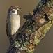 ringmus-eurasian-tree-sparrow-05
