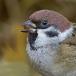 ringmus-eurasian-tree-sparrow-06