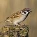 ringmus-eurasian-tree-sparrow-07